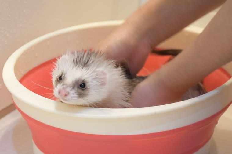 フェレットのお風呂の入れ方