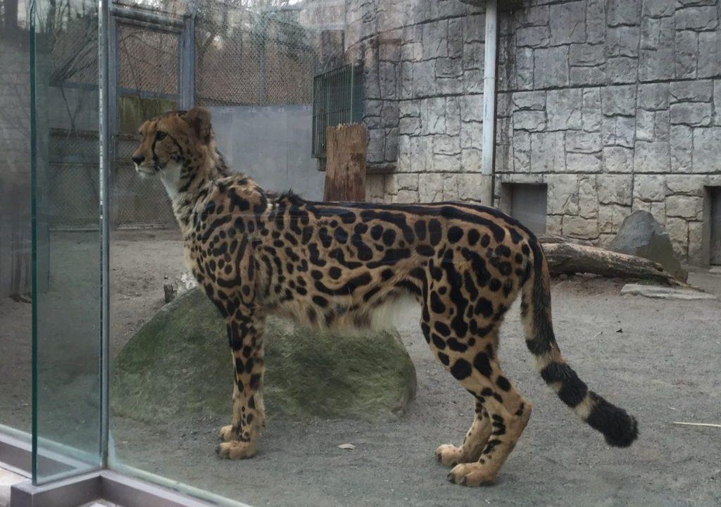 多摩動物園のキングチーター