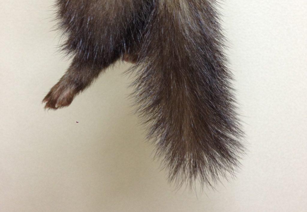 興奮して爆発したフェレットの尻尾