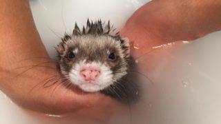 フェレットワールドのお風呂